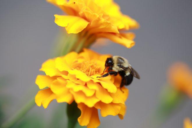 Bijvriendelijke bloembollen